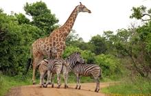 Zebry i żyrafa