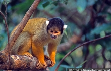 Małpki Sajmiri na amazońskiej pampie