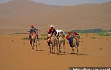 Na pustyni najlepiej sprawdzają się wielbłądy