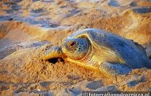 Żółwica składająca jaja na wybrzeży Oceanu Indyjskiego