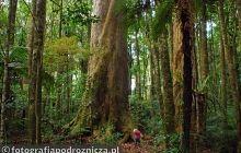 W lesie tysiącletnich drzew kauri