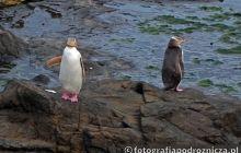 Pingwiny - mieszkańcy nowozelandzkich wybrzeży