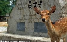 Święte jelonki w mieście Nara