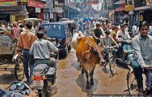 Święte krowy na ulicach Delhi